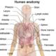 اعضای بدن به زبان انگلیسی